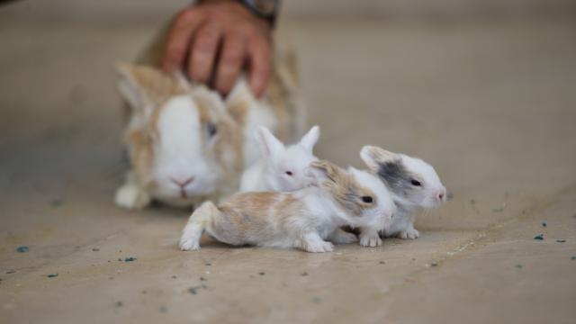 Düzcede öğretmenlerin okul bahçesinde beslediği 9 tavşan yavrusu özel öğrencilerin maskotu oldu