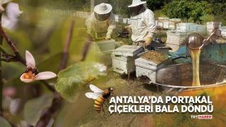 Antalya'da portakal çiçekleri bala döndü