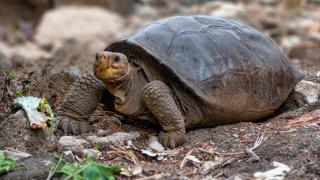 Nesli tükendi sanılan dev kaplumbağa, Galapagos Adaları'nda