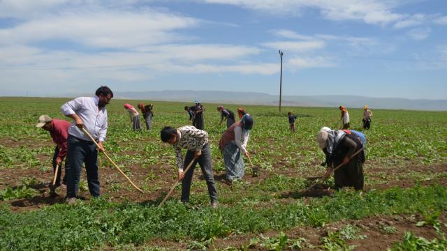 Tarım işçilerinin Muş Ovasındaki mesaisi başladı