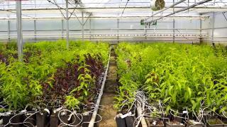 Modern seralarda topraksız tarım yöntemiyle fidan üretiliyor