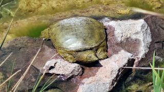 İstanbul'da nesli tükenmekte olan 'Fırat kaplumbağası' bulundu