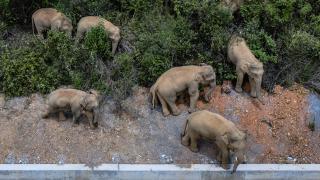 Çin'de fil sürüsü şehre yaklaştı, yollar kapatıldı