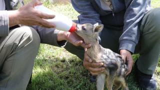 Yozgat'ta yeni doğan yavru karaca bulundu