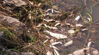 Sakarya'daki balık ölümleri araştırılıyor