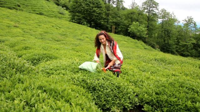 Fındığın başkenti Giresunda çay üretimi de her geçen gün artıyor