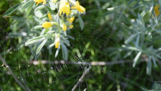 """Nesli tehlike altında olan endemik bitki """"Eber sarısı""""nın yetiştiği yeni bir alan keşfedildi"""