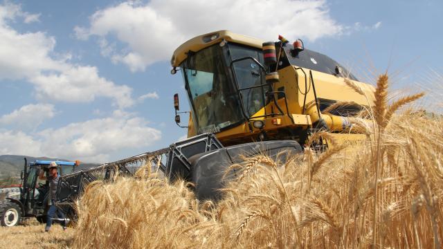 Yerli tohumluk buğdayda hasat zamanı