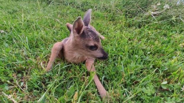Düzcede orman işçilerinin bulduğu yavru karaca korumaya alındı