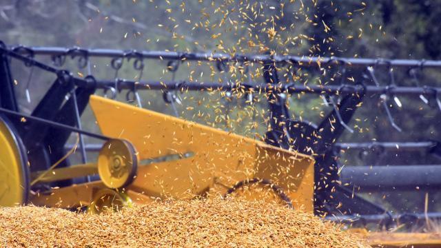 Mardin Ovasında buğday hasadı