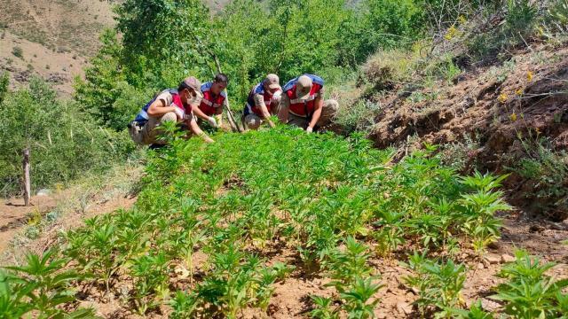 Elazığda meyve ağaçlarının arasına ekilmiş 6 bin 150 kök Hint keneviri ele geçirildi
