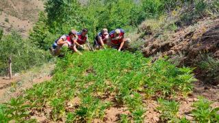 Elazığ'da meyve ağaçlarının arasına ekilmiş 6 bin 150 kök Hint keneviri ele geçirildi