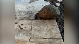 Diyarbakır'da susayan kaplumbağa TRT Radyo Verici İstasyonu'na sığındı