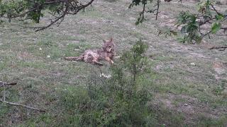 Çorum'da su kuyusundan kurtarılan kurt doğaya salındı