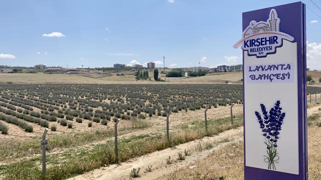 Kırşehirde ekilen lavantalarda ikinci hasat temmuzda