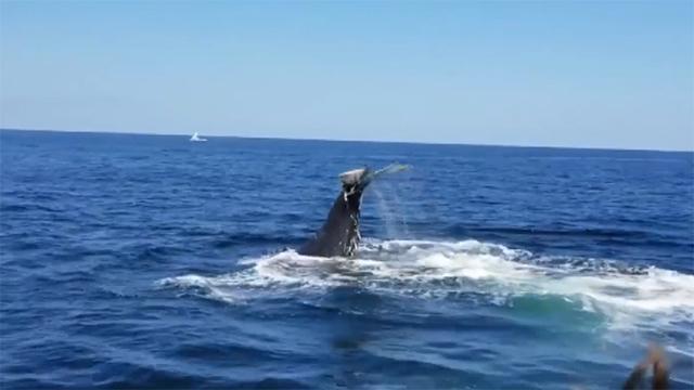 ABD'li dalgıç balinanın midesine gitmekten son anda kurtuldu
