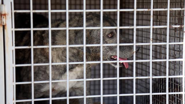 ABDde 100den fazla ülkeden köpek ithalatı yasaklandı