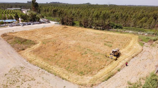 Mersinde hasadı yapılan yerli Kunduru buğdayı un yapılarak vatandaşlara dağıtılacak