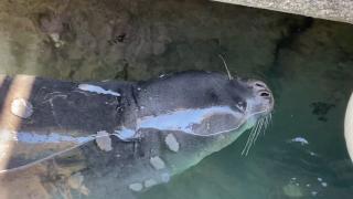 Yunanistan türü tehlikede olan fok Kostis'in katilinin peşinde