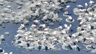 Tuz Gölü'nün misafir flamingoları, yavruları ve yumurtalarıyla görüntülendi