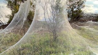 Dev örümcek ağları Avusturalya'da sel bölgesini kapladı