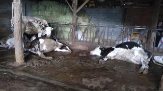 Denizli'de ahıra yıldırım isabet etmesi sonucu 4 inek telef oldu