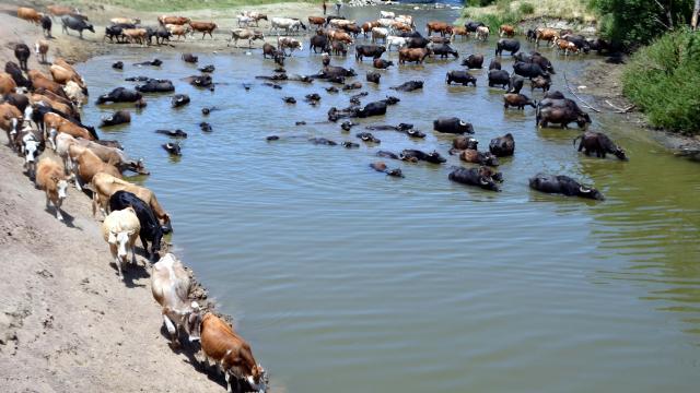 Muşta sıcaktan bunalan mandalar Karasu Nehrinde serinletiliyor