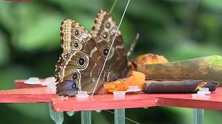 Avrupa'nın en büyük kelebek uçuş alanı: Konya Tropikal Kelebek Bahçesi