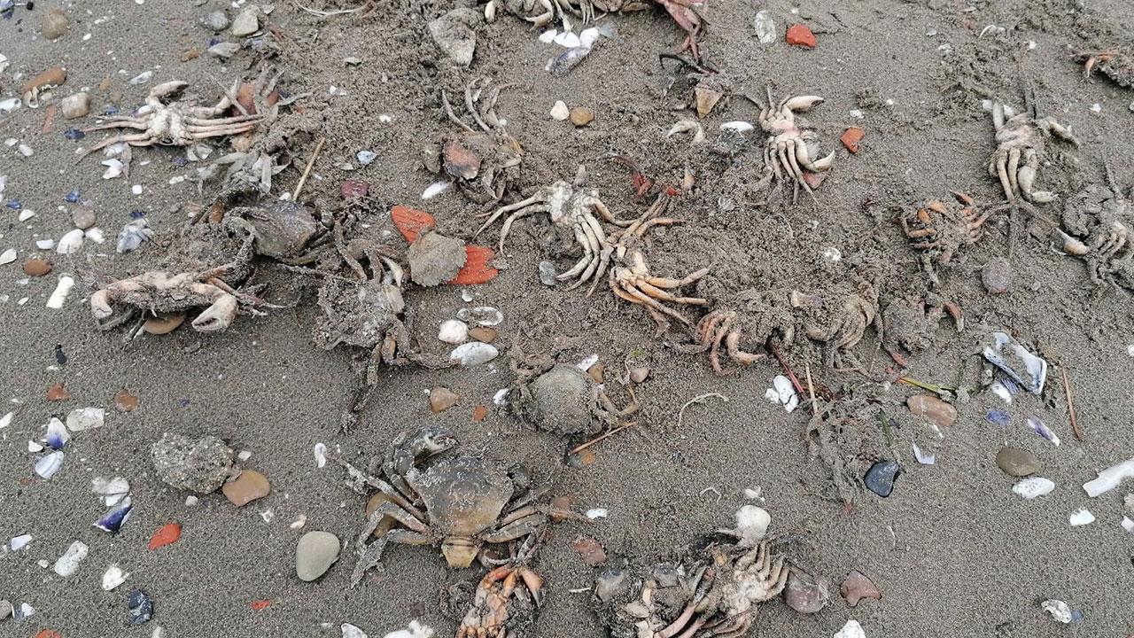 Silivri sahiline onlarca ölü yengeç vurdu