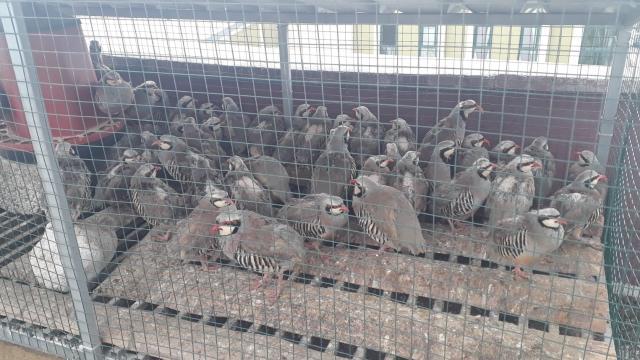 Konyada izinsiz keklik bulunduran kişiye 61 bin 390 lira ceza
