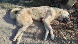 Kangal köpekleri 'Aslan' ve 'Duman' bıçaklanarak öldürüldü