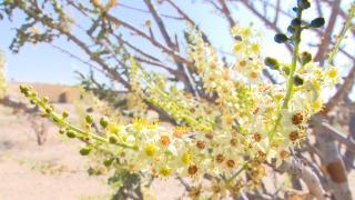 Umman'ın 'beyaz altını': Buhur ağaçları