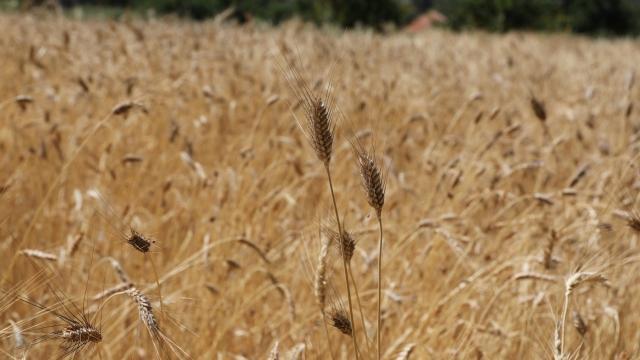 Kazakistan, Afganistana buğday ve un ihraç etmeyi sürdürecek