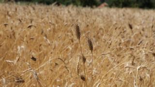 Kazakistan, Afganistan'a buğday ve un ihraç etmeyi sürdürecek