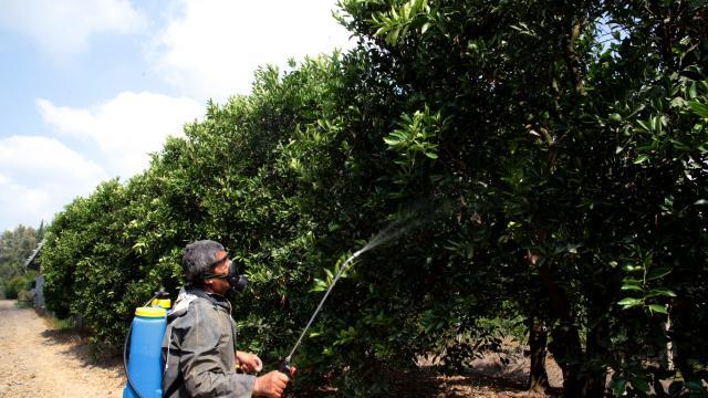 Adanada Akdeniz meyve sineğiyle mücadele başladı