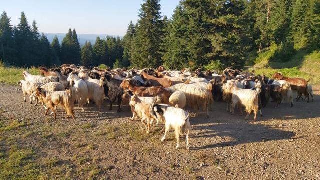 Kastamonuda kaybolan 150 keçiyi jandarma ve AFAD ekipleri bularak sahibine teslim etti