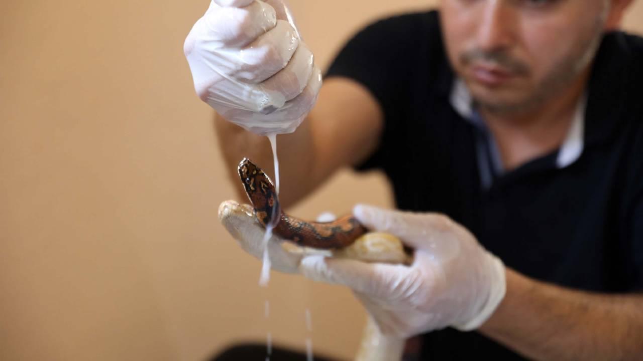 Yılanlar süt banyosuyla deri değiştiriyorlar