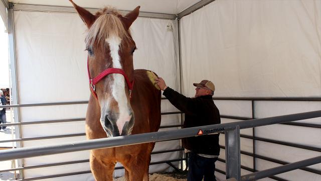 """Dünyanın en uzun boylu atı """"Big Jake"""" öldü"""