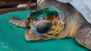 Çanakkale'de yaralı caretta caretta tedaviye alındı