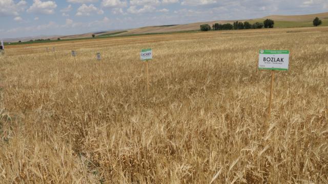 Yozgatlı çiftçilere yerli tohumla üretilen 19 çeşit buğday ile 14 çeşit arpa tanıtıldı