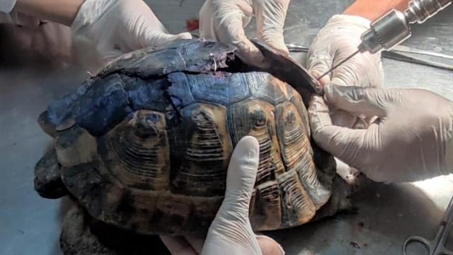 Uşakta kabuğu parçalanan kaplumbağa tedavi altına alındı