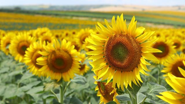 Tekirdağda tarlalar sarıya boyandı