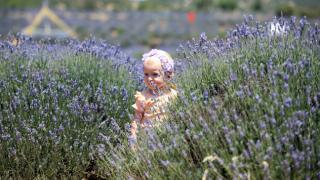 Isparta'nın lavanta bahçelerinde hafta sonu yoğunluğu yaşanıyor