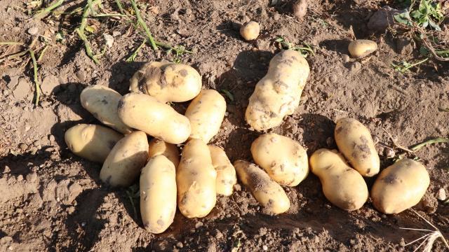 Bitliste patates üretiminde hedef 500 milyon lira