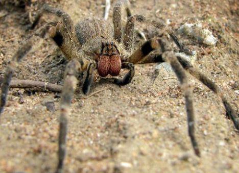 brezilyalı gezgin örümçek ile ilgili görsel sonucu