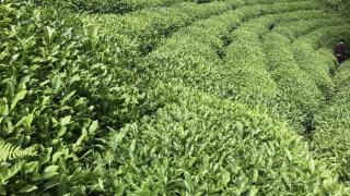Yaş çay alım kampanyasının 15 Ekim'de bitmesi planlanıyor