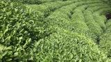 Türkiye'den 110 ülkeye çay ihraç edildi