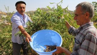 Sumak üretimi 8 yılda 5'e katlandı