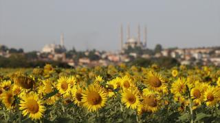 Edirne'nin tablo gibi ayçiçekleri