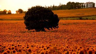 Ayçiçeği tarlaları doğal fotoğraf stüdyosuna dönüştü